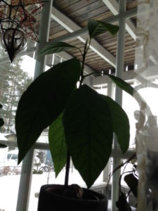 Avokado planten %22G%22