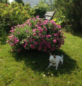 Chanel-i skyggen-Petunia