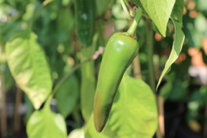 Chili-to-harvest
