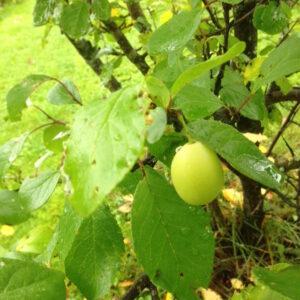 Gule-plummer-eggeplumme