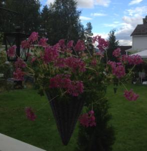 Rosa-Pelargonia