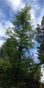 Urtidstre-Metasequoia-glyptostroboides
