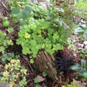 skogsyre-tarantell